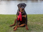 The 2014 American Rottweiler Club Nationals Sieger