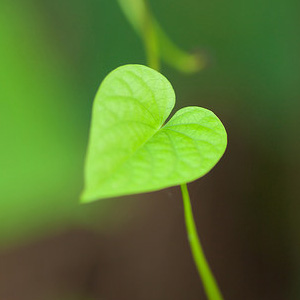 Bright green heart-shaped leaf.
