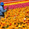 A worker picking flowers at a very colorful flower fields.