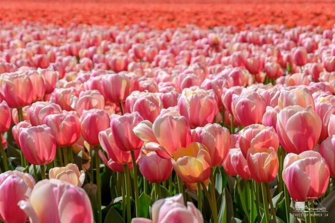 thuis op nummer 14 - Fam FlowerFarm *tulpen