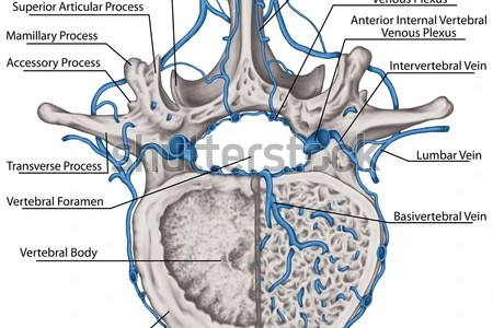 interior vertebrae anatomy » Full HD MAPS Locations - Another World ...