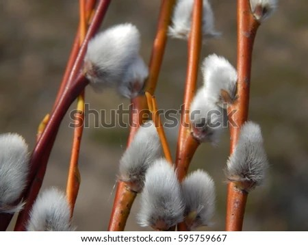 Willow Stock Images Royalty Free Images Amp Vectors Shutterstock