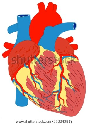 Human Heart Muscle Gross Anatomy Vector Stock Vector