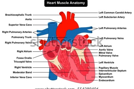 Interior heart structures electronic wallpaper electronic wallpaper interior structure of the heart full hd maps locations another interior structure of human heart heart interior structures of the heart feb is american ccuart Choice Image