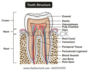 Dentin Stock Images, RoyaltyFree Images & Vectors