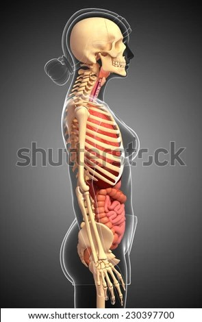 Female Skeleton Stock Photos, Images, & Pictures ...