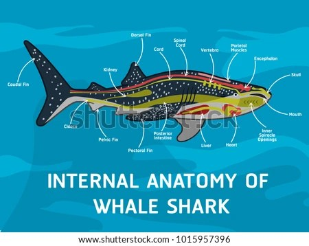 Whale Shark Labeled Diagram Wiring Diagram Services