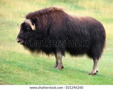 symbol of strength beautiful and impressive male musk ox standing in