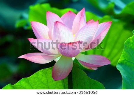 Red Lotus Flower Royalty Stock Photography