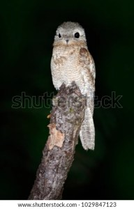 Night Bird Common Potoo Nyctibius Griseus Stock Photo  Edit Now     Night bird Common Potoo  Nyctibius griseus  nocturnal tropical bird sitting  on the tree branch