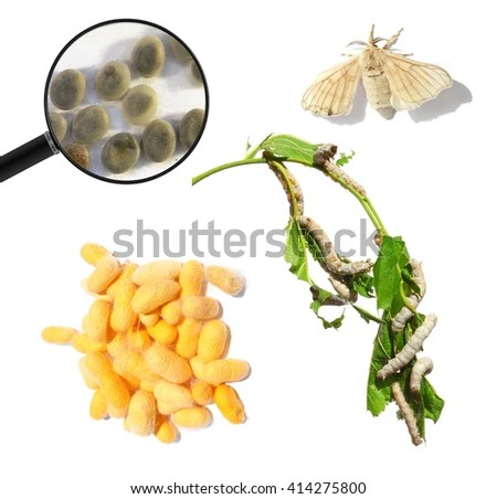 silkmoth stock photos royalty free images amp vectors shutterstock