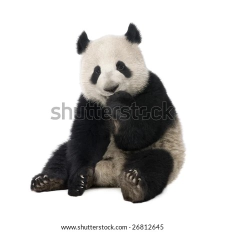 Panda Stock Images Royalty Free Images Amp Vectors