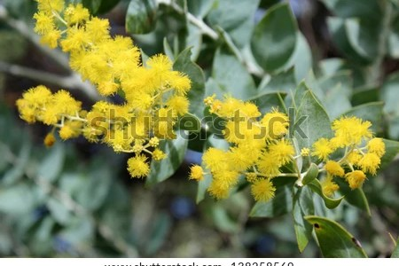 Best wild flowers australian acacia tree with yellow ball shaped australian acacia tree with yellow ball shaped flowers these flowers are very beautiful here we provide a collections of various pictures of beautiful mightylinksfo