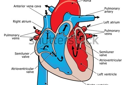 Interior Heart Anatomy 4k Pictures 4k Pictures Full Hq Wallpaper