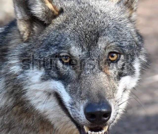 Worksheets Parts Of The Brain, Image Result For Close Up Portrait Of A Grey Wolf Canis Lupus Also Known As Timber, Worksheets Parts Of The Brain