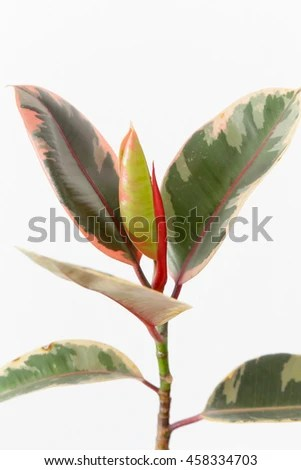 Leave Buds Stock Photos Images Amp Pictures Shutterstock