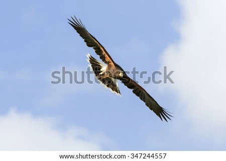 Hawk In Flight Stock Photos Images Amp Pictures Shutterstock