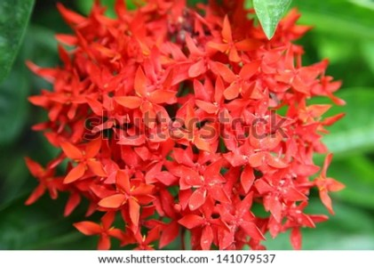 Closeup Red Flower Indian Jasminescientific Name Stock Photo     Closeup red flower  Indian Jasmine scientific name Ixora chinensis Lamk