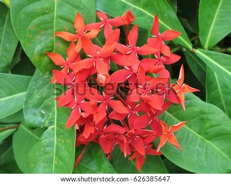 Red Flowers Name Spike Flower Thailand Stock Photo  Royalty Free     Red flowers name is spike flower from thailand