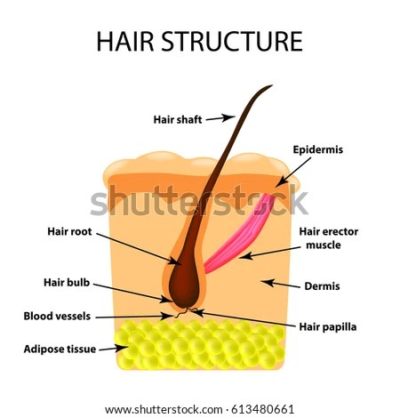 structure female external genitalia medical poster stock vector shutterstock