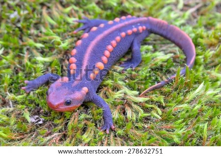 salamander stock photos royalty free images vectors shutterstock