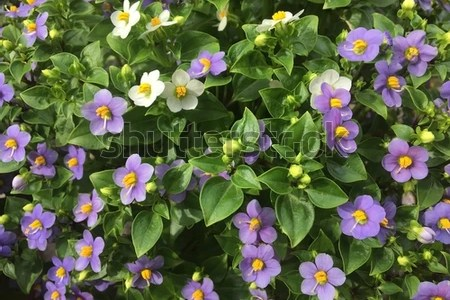 Purple leaf plant with white flowers flower shop near me flower shop perennials white clips campanula carpatica white clips free images water nature blossom dew white flower purple free images water nature blossom dew white mightylinksfo