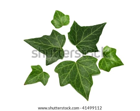 Image result for picture of ivy