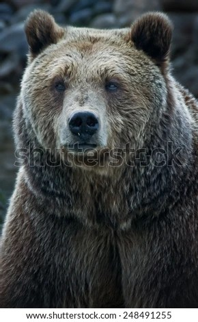 Bear Face Stock Images Royalty Free Images Amp Vectors
