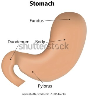 Stomach Labeled Diagram Stock Vector 180516914  Shutterstock