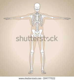 Diagram Human Skeleton Main Parts Skeletal Stock Vector
