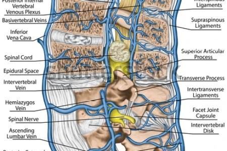 interior internal vertebral plexus interior » Full HD MAPS Locations ...