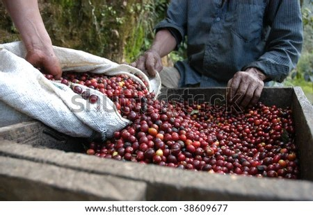 Coffee beans - Guatemala - stock photo