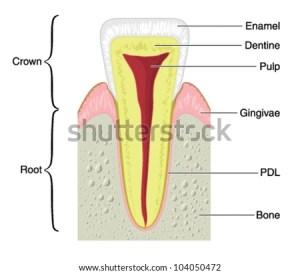 Teeth bones diagram  wiring online