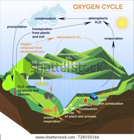 Image result for oxygen cycle