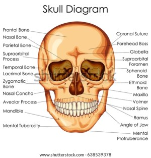 Medical Education Chart Biology Human Skull Stock Vector