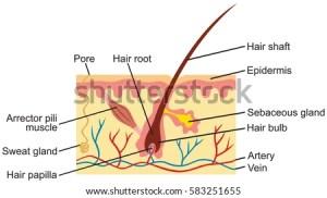 Hair Human Skin Anatomy Illustration Stock Vector (Royalty