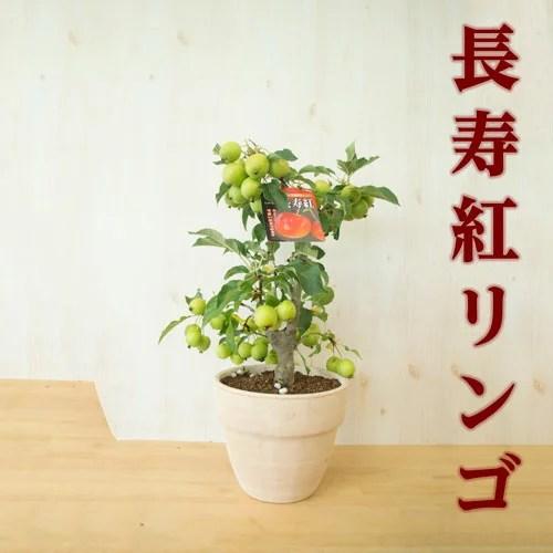 母の日ギフト2021年【長寿紅リンゴ】リンゴの鉢植え ゴルフボールサイズの実がな
