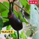 【てしまの苗】 ナス苗 竜馬 断根接木苗 9cmポット 野菜苗 培土 種