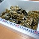 牡蠣70個前後/訳あり/ハネ/北海道/釧路町仙鳳趾/生牡蠣 4キロ 安心配送の生食用/