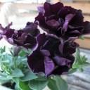 ブラック 黒 八重咲ペチュニア ジュリエット 花芽付 花苗 販売 通販 種類
