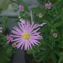 ユウゼンギク(友禅菊)7.5〜9cmポット 【山野草】【菊】【茶花】