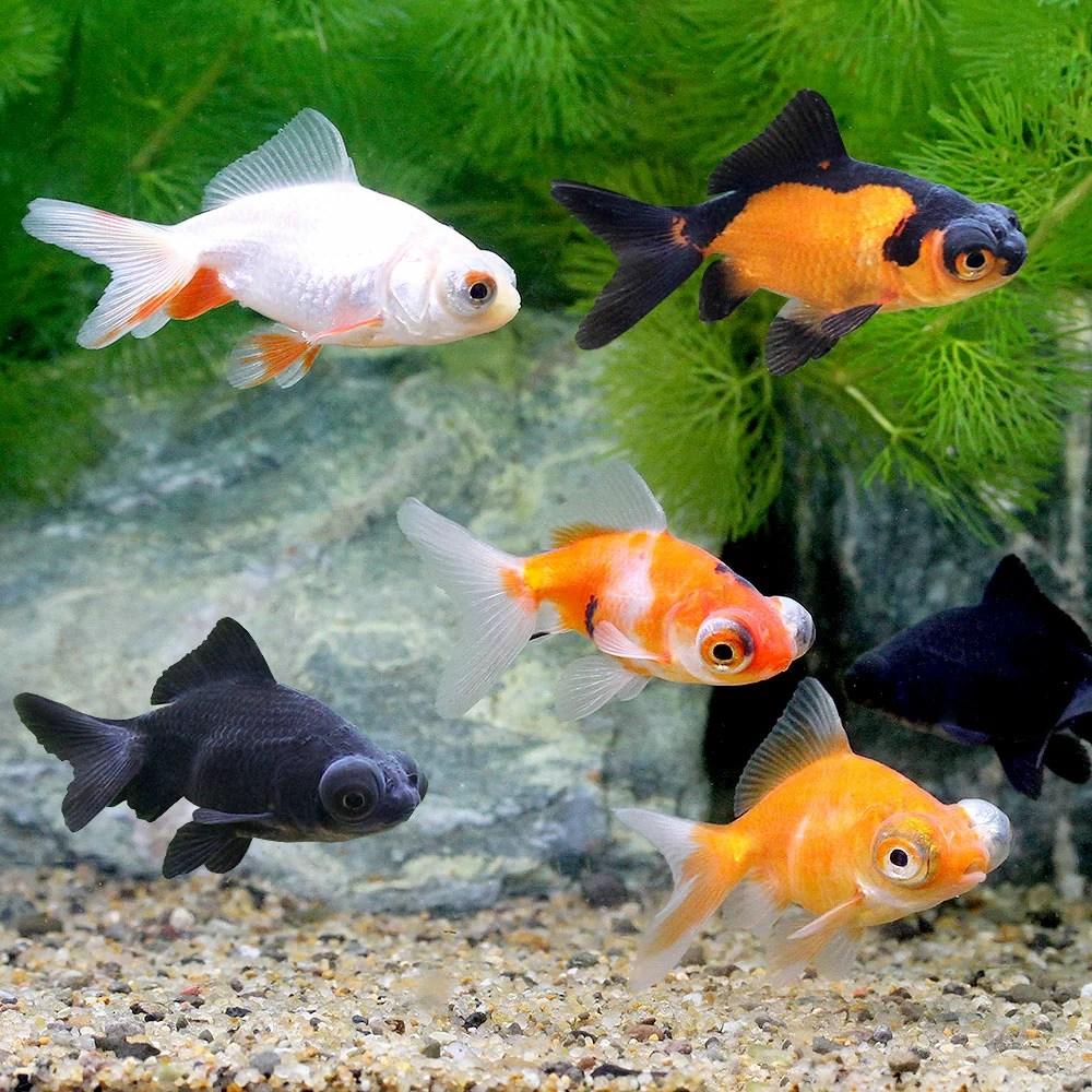 金魚】出目金の種類や特徴をご紹介【黒だけじゃありません ...