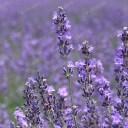 オカムラサキ(丘紫)・ラベンダー(スパイカ系)/ハーブの苗 9cmポット