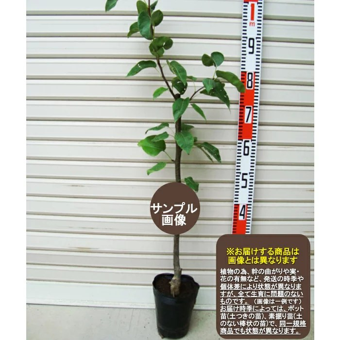 梨のジョイント苗の苗木専門店一覧【まとめ】 145