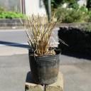 チカラシバ 10.5cmポット 1本【1年間枯れ保証】【山野草】