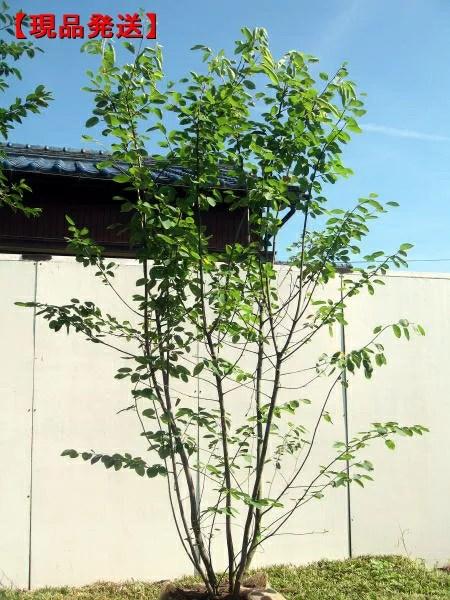 【現品発送】ジューンベリー 株立樹高2.0-2.2m(根鉢含まず)シンボルツリー 庭木 植木 落葉樹 落葉高木