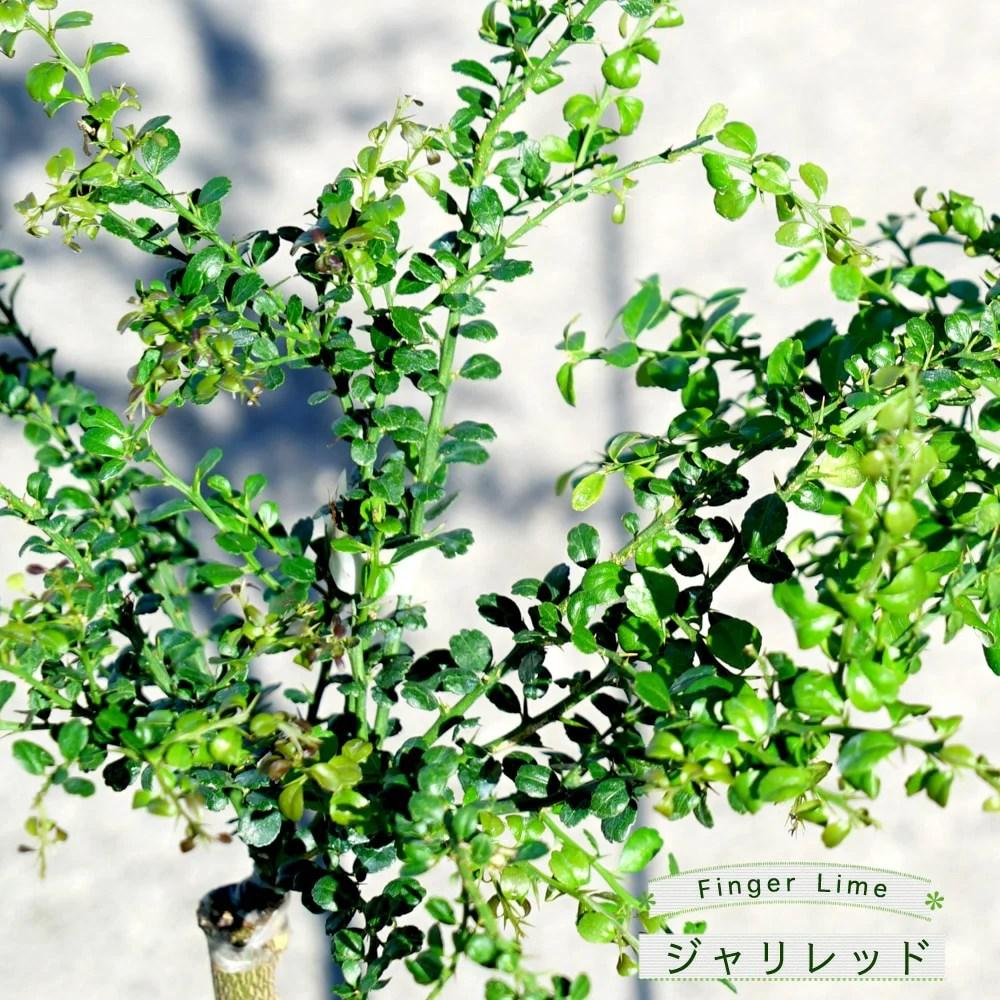 フィンガーライムの栽培·育て方を解説【原産国と日本の環境を比較して分かったこと】 679