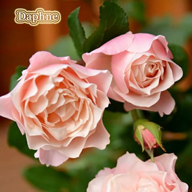 【バラ苗】 ダフネ 大苗 シュラブ系 【ロサオリエンティス】 四季咲き ピンク色 バラ苗木