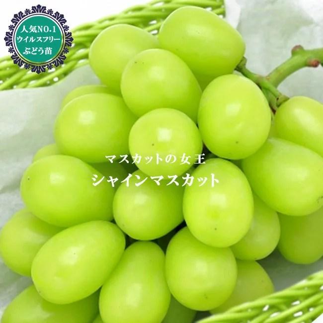 ぶどう農家おすすめのブドウの苗木販売店・専門店一覧【まとめ】 174