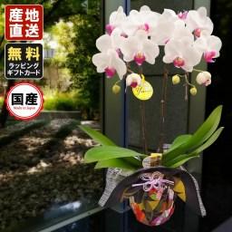 ミニ胡蝶蘭 ギフト 風呂敷包み 4号鉢 L2本立 ホワイト/